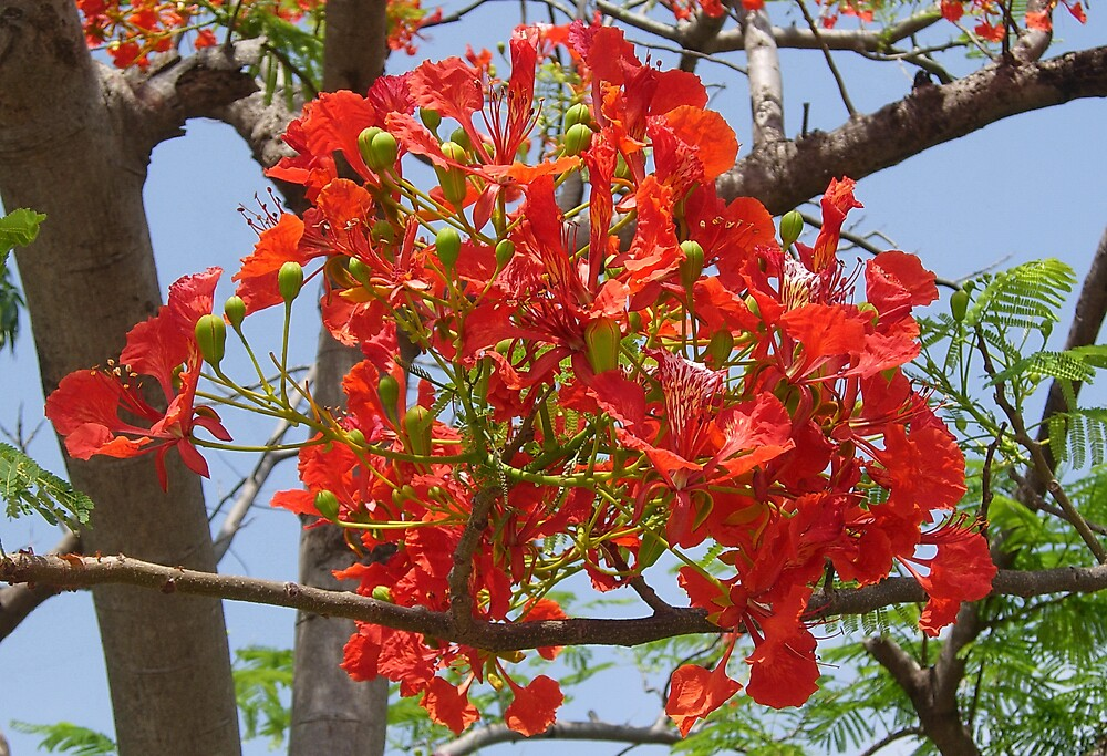 Flowers of the Flame Tree by Peter Stephenson