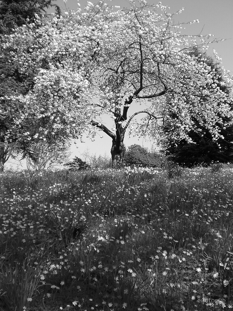 A Cherry Tree Amongst Daisies by eyetoeye