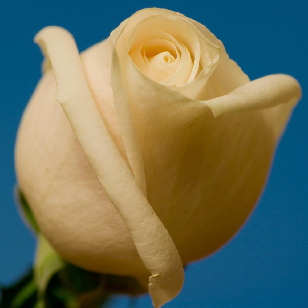 Rose Macro by AshleePPhotos