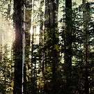 Light through big trees by Leslie Sobel