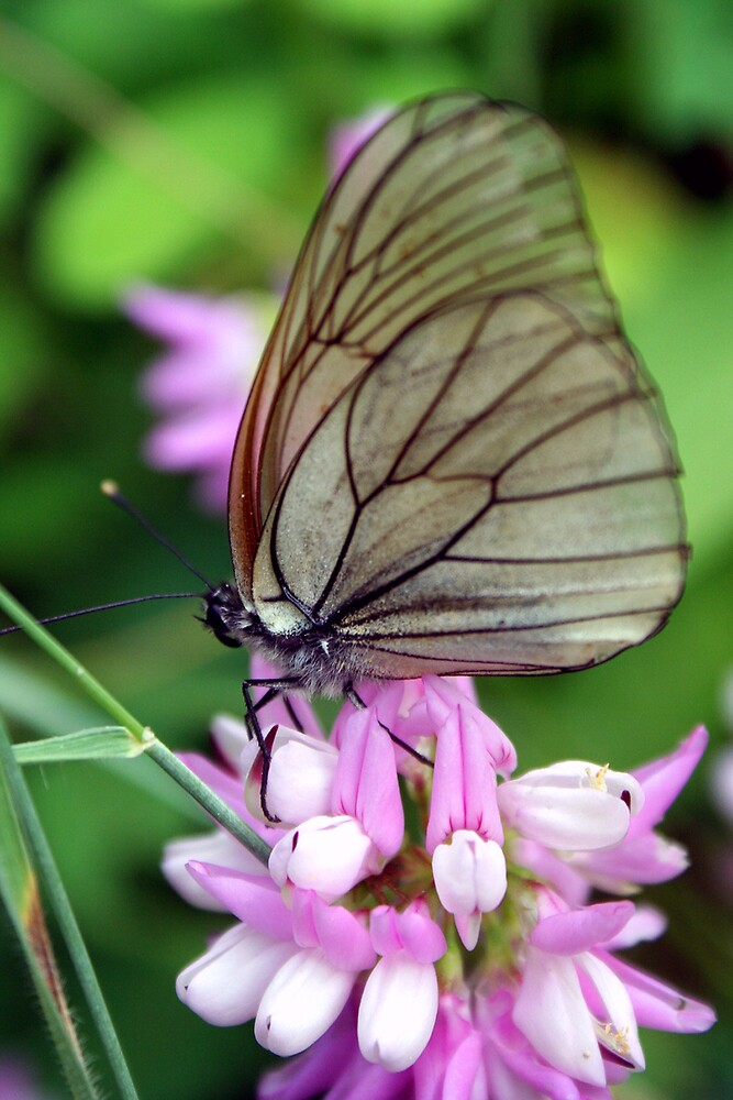 black and white veined butterfly by alixlune