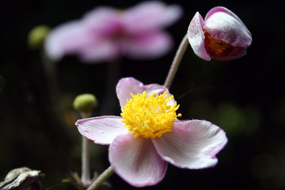 anemones by alixlune
