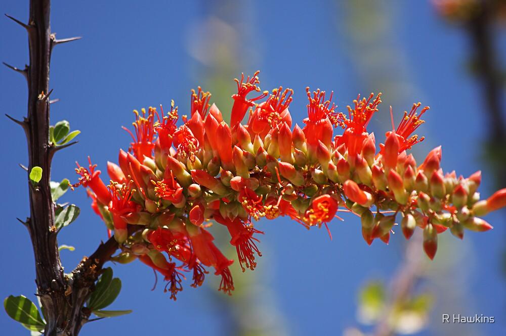 Ocotillo flowers by R Hawkins