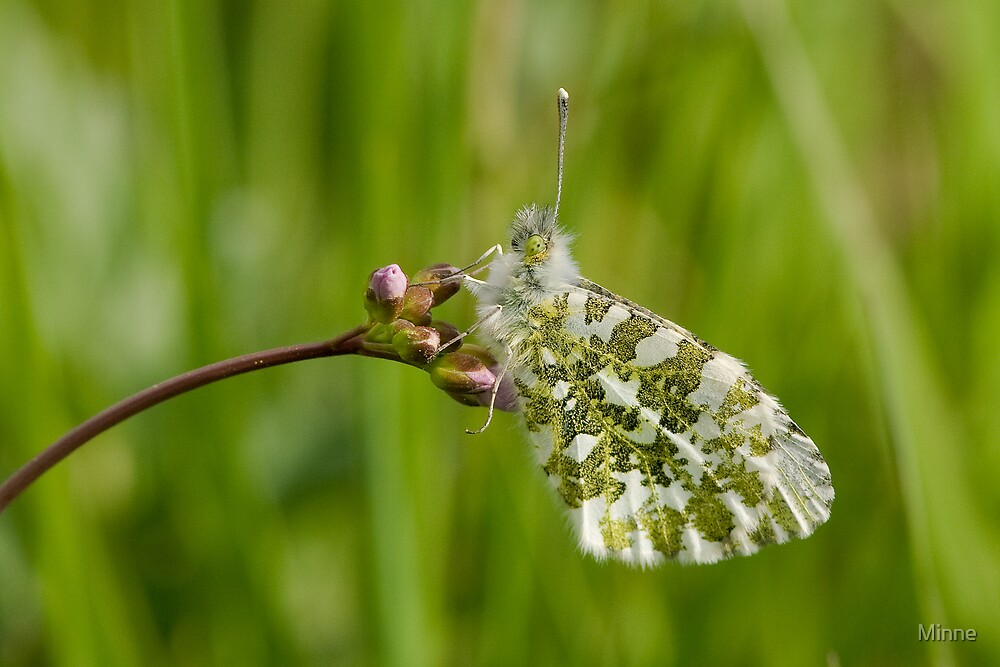 Orange Tip Female by Minne
