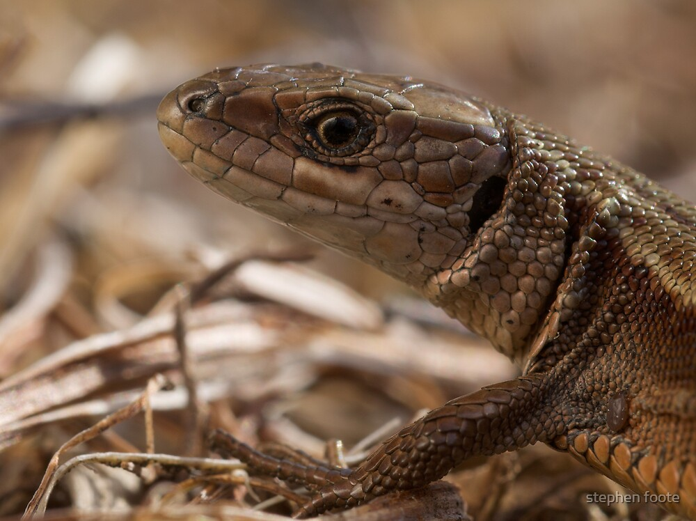 Common Lizard by stephen foote