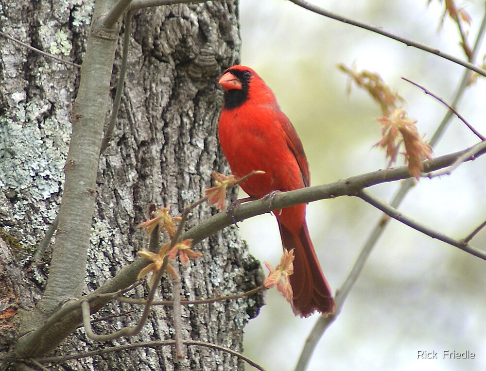 Cardinal Perched by Rick  Friedle