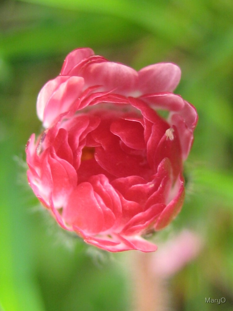 Rosy by MaryO