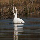 Swan Mating Ritual by kernuak