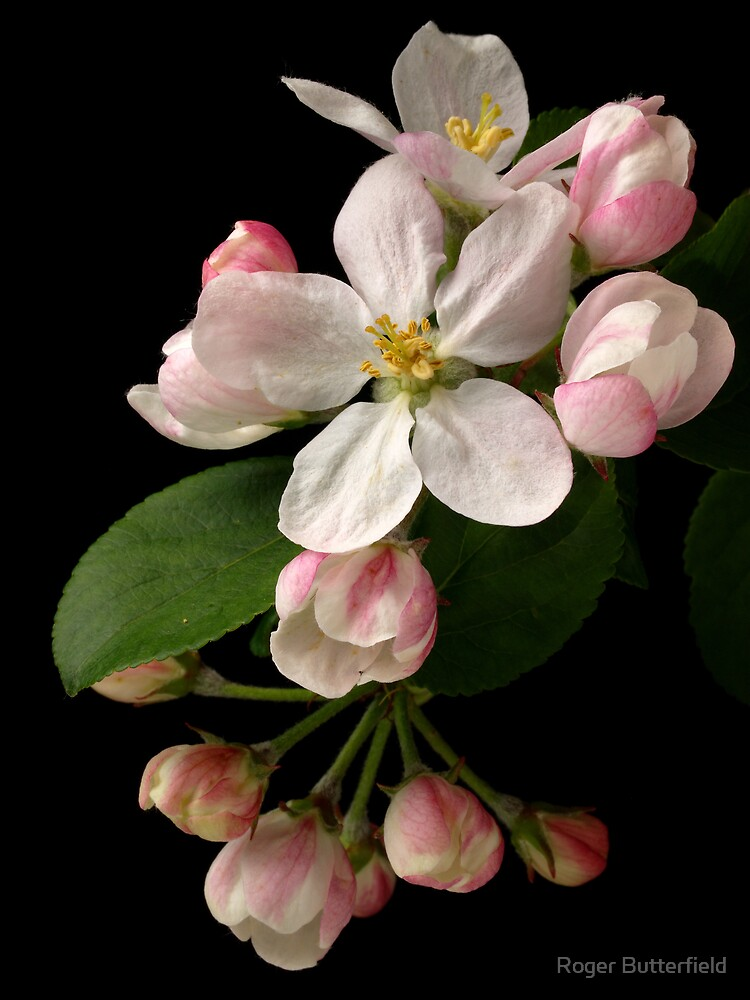 Apple Blossom by Roger Butterfield