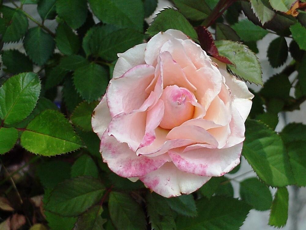 Sweetheart by Carole Boyd