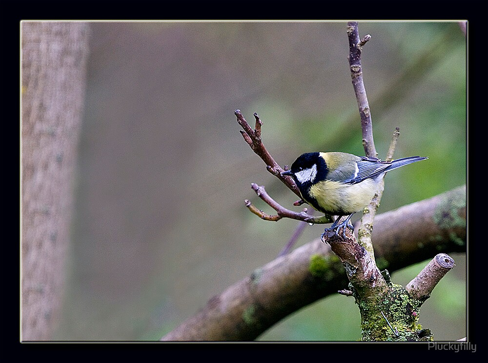 great tit by Pluckyfilly