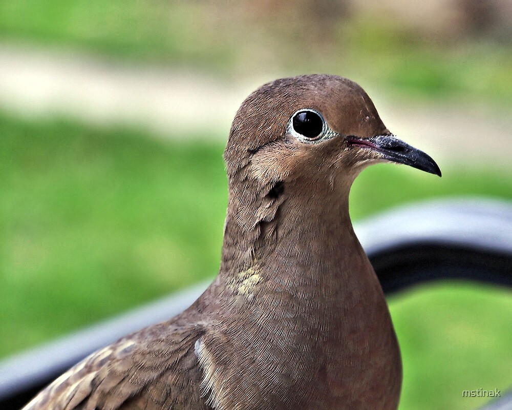 mourning dove by mstinak