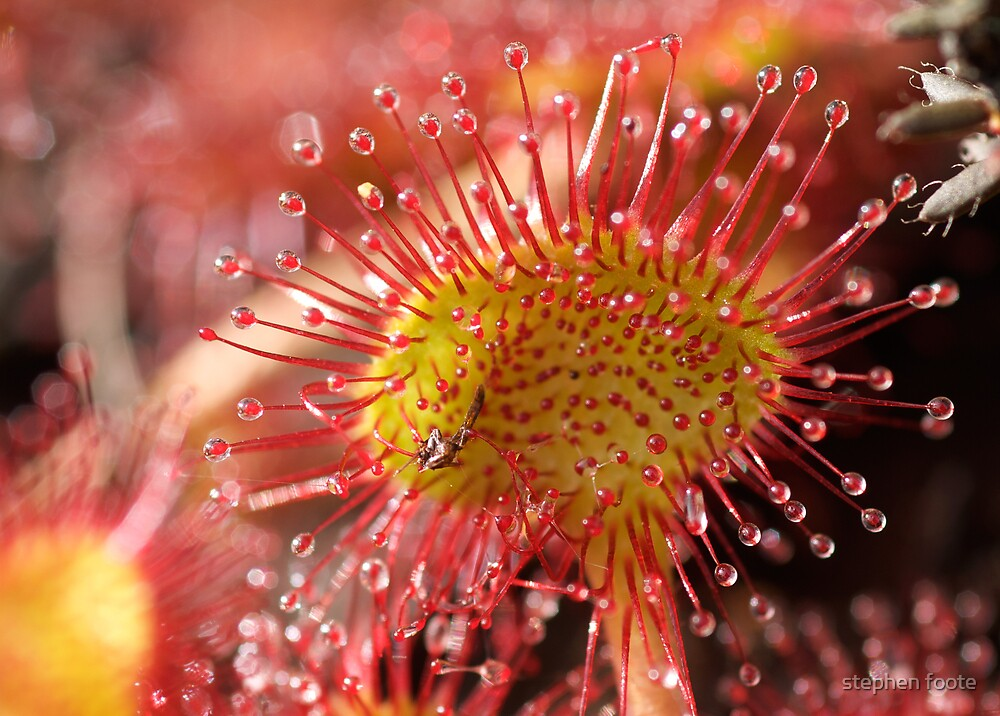 Sundew by stephen foote