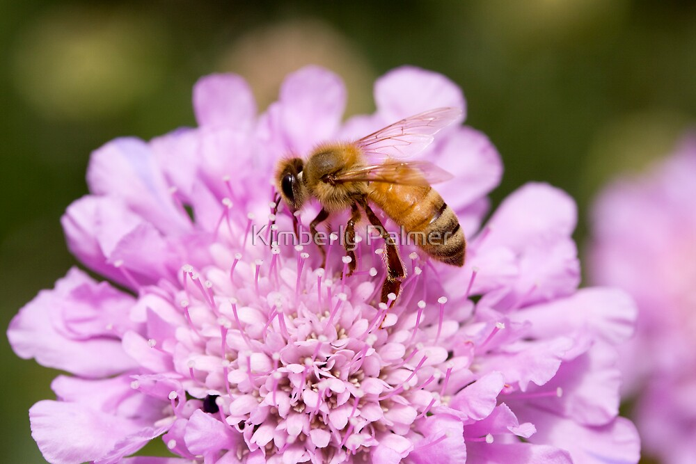 Honey Bee by Kimberly Palmer