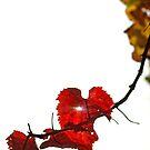 Vine by Basia McAuley