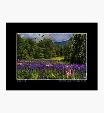 Geese Over Lupine Field Poster Photographic Print