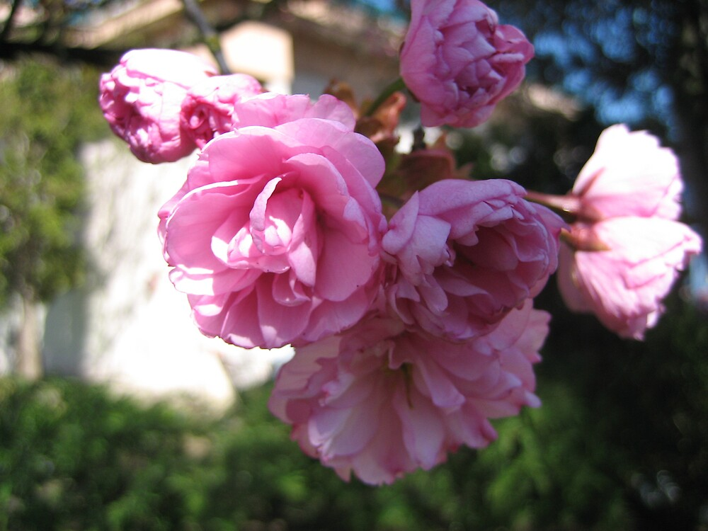 Glorious Pink Blossom by Terry Krysak