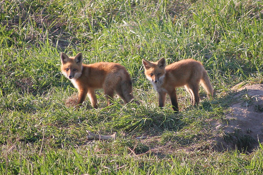 foxes 2 by JohnKeeley