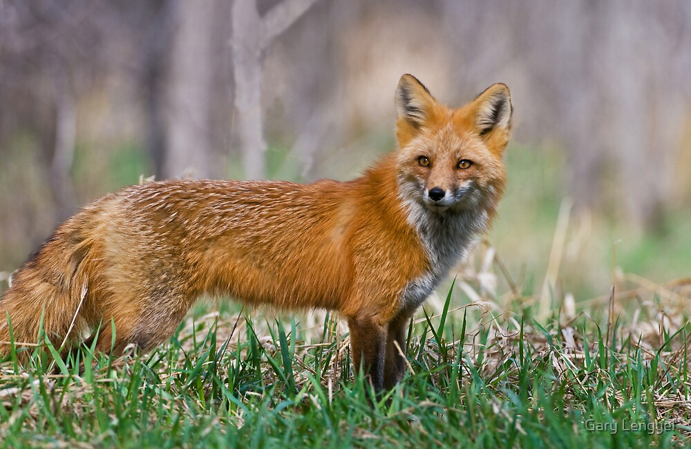 Red Fox by Gary Lengyel