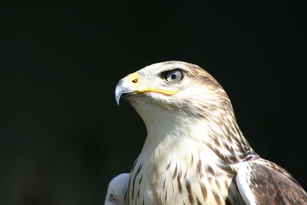eagle by JohnKeeley