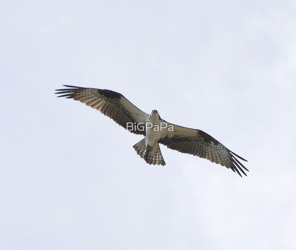 Osprey by BiGPaPa