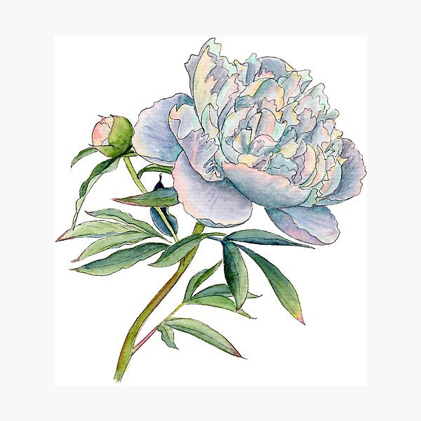 Peony in watercolor and ink by farrahdelle Photographic Print