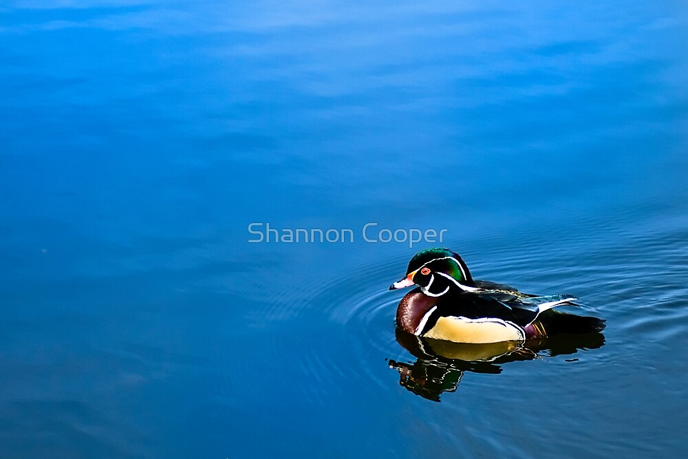 Wood Duck by Shannon Beauford