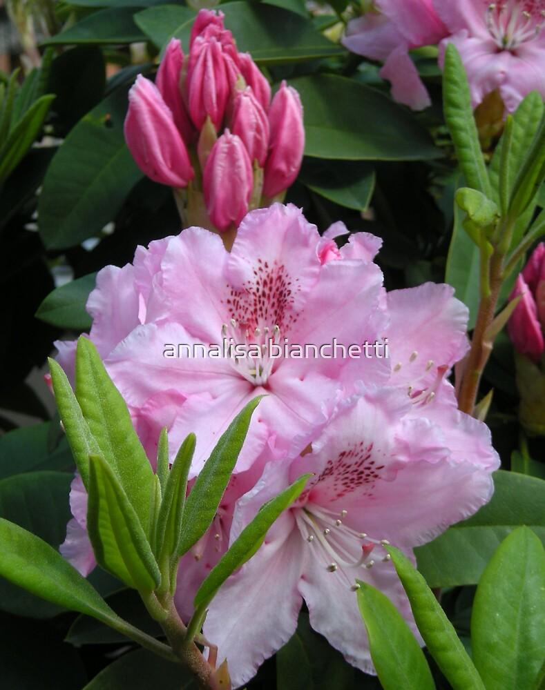 Pink Rhododendron by annalisa bianchetti