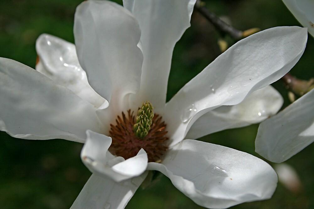 Magnolia by jdphotos