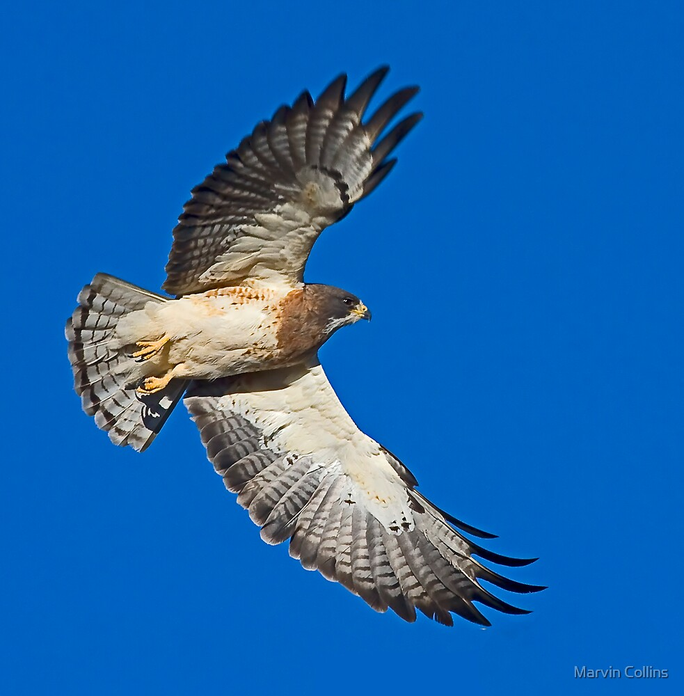 041809 Swainson's Hawk by Marvin Collins
