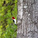 Red-headed Woodpecker  by Cynthia48