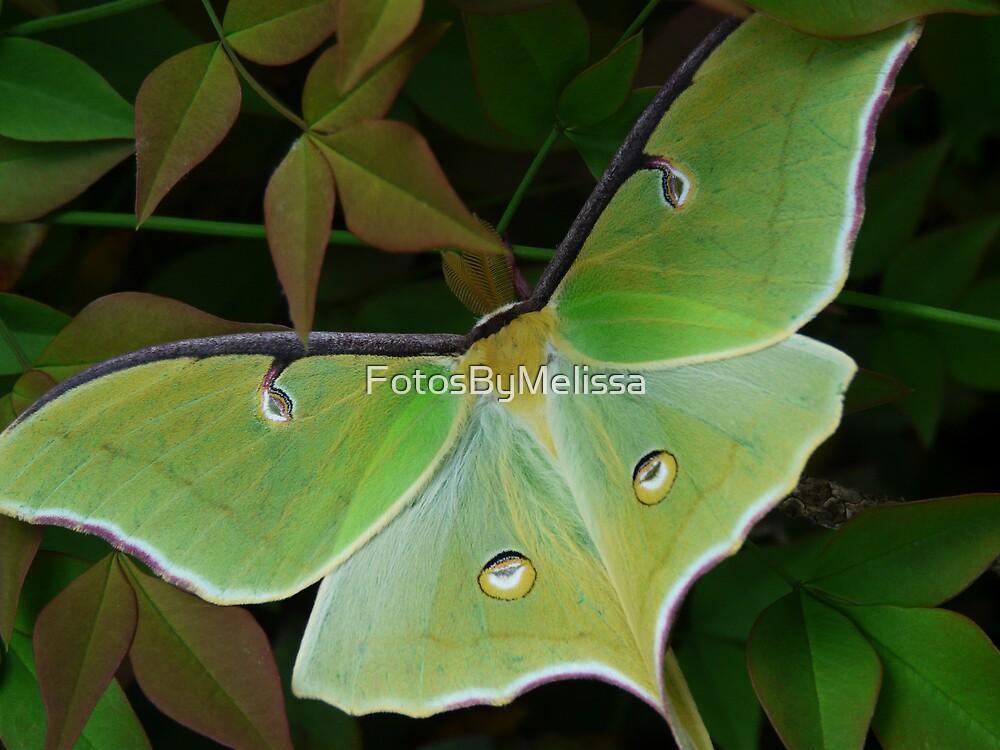 Luna Moth by FotosByMelissa