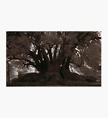 hollow fig Photographic Print