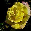 Arizona Yellow Rose by George I. Davidson