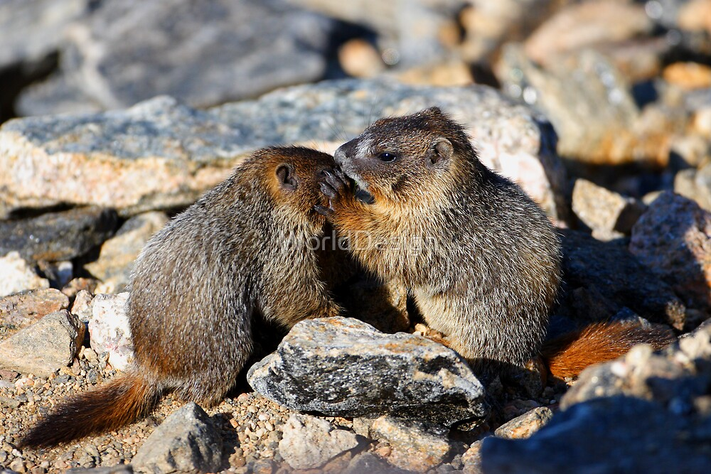 Marmot Babies Keeping Secrets by WorldDesign