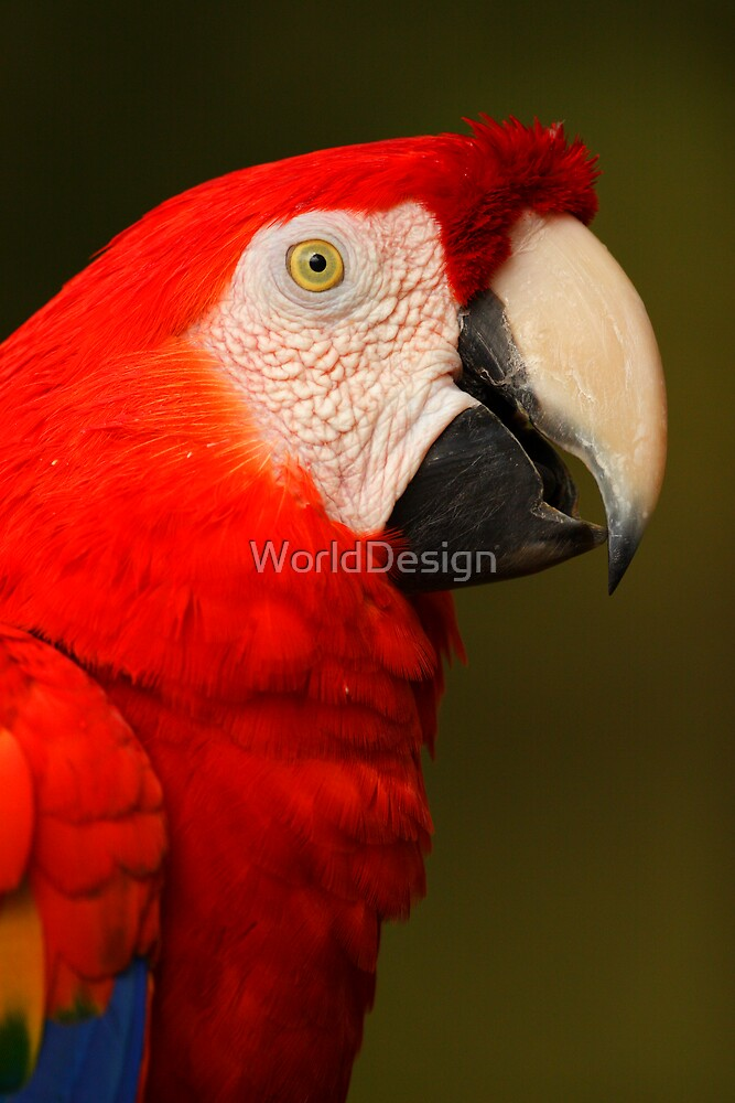 Scarlet Macaw Portrait by WorldDesign