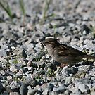 goodmorning little sparrow by memaggie