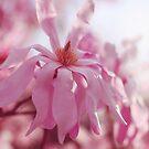 pink star magnolia by beverlylefevre