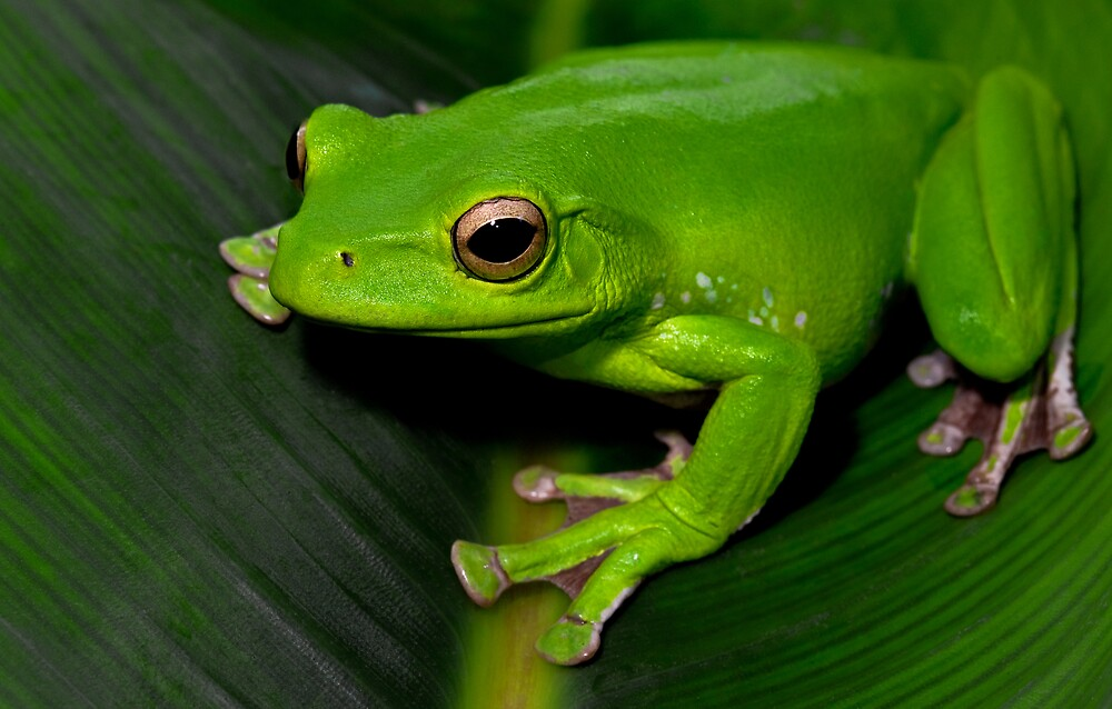Polypedates dennysi (gliding chinese tree frog) by oskanoears