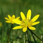 Lesser Celandine on the level by Barrie Woodward