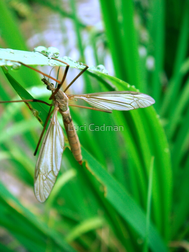 Crane fly taking cover by Luci Cadman