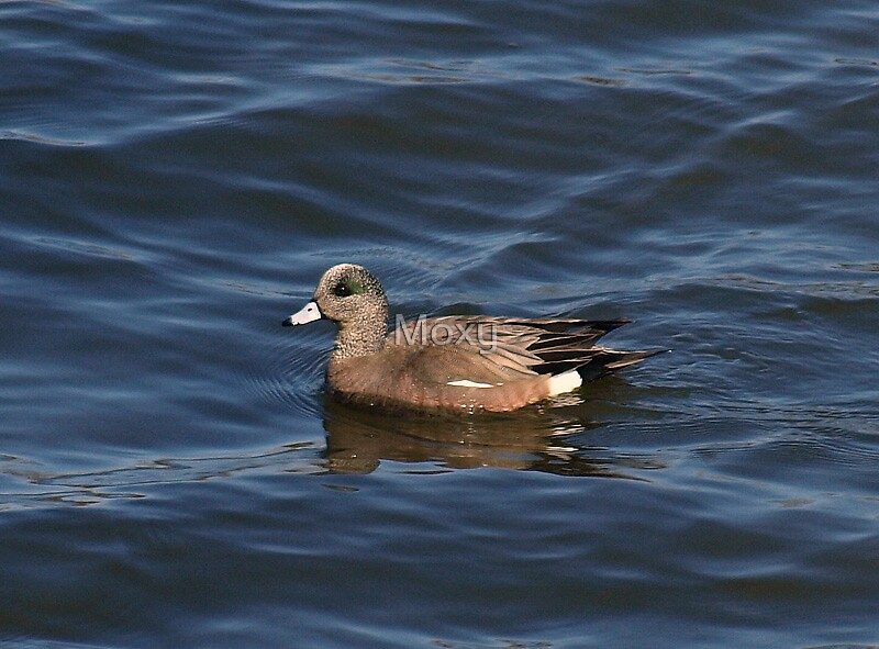 The American Wigeon by Moxy