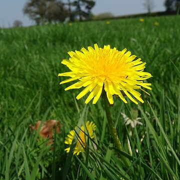 The Dandy Dandelion by Rorymacve