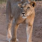 Lioness on the Prowl by Dennis Stewart