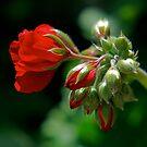 Geranium by Pamela Hubbard