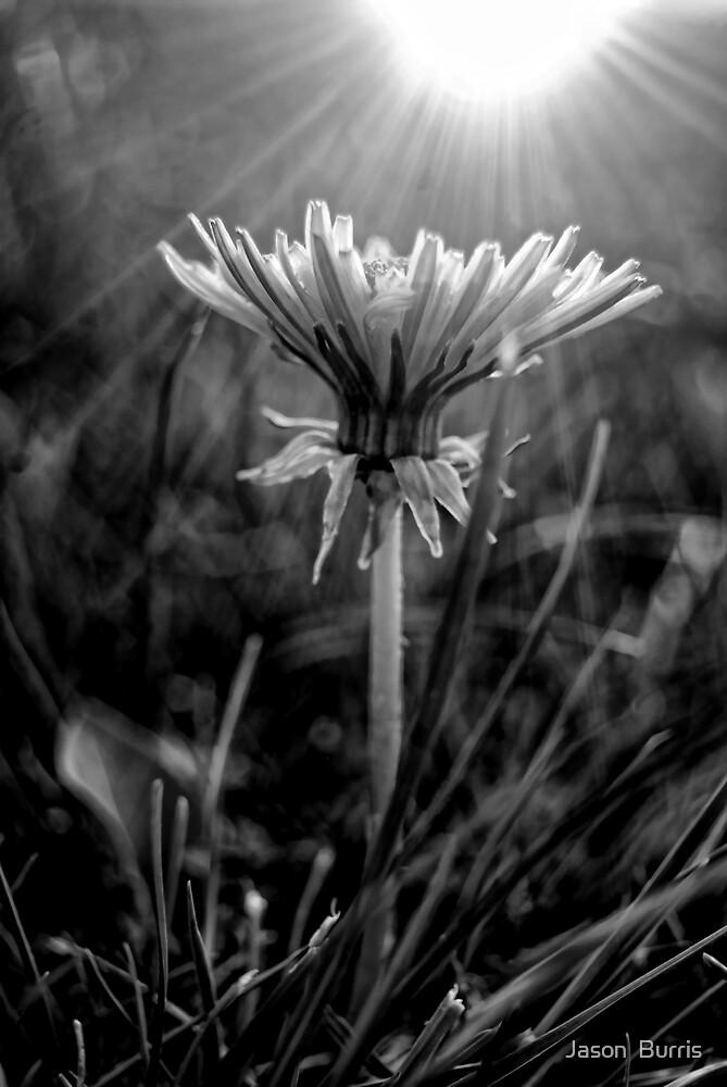 Dandelion B&W by Jason  Burris