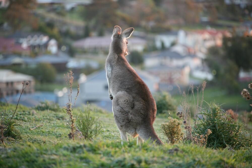 Urban Kangaroo by Jocelyn Pride