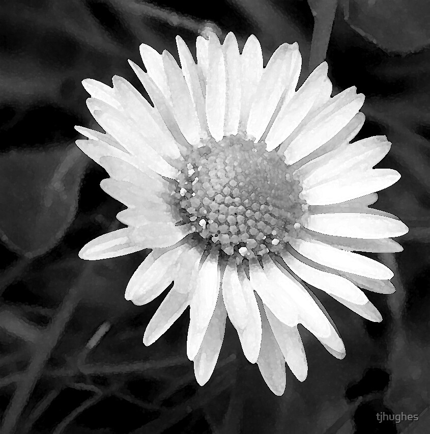 Daisy in black and white by tjhughes