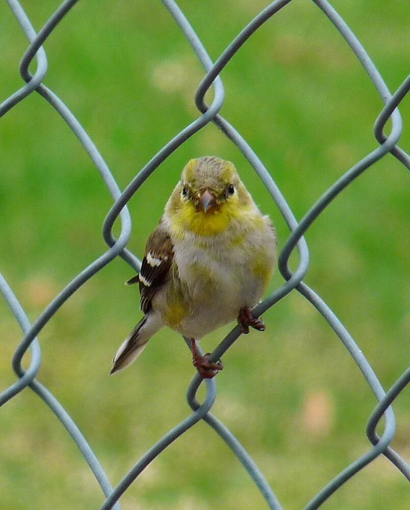Goldfinch by phoenix59