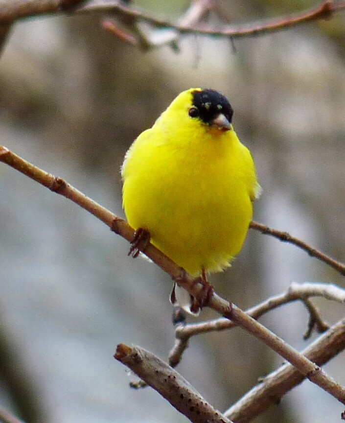 Gold finch, male by phoenix59